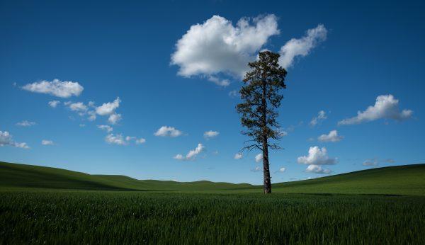 'Pine'